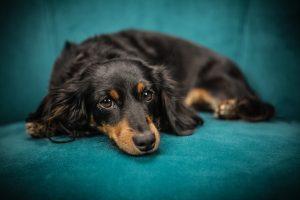durere acută animal companie